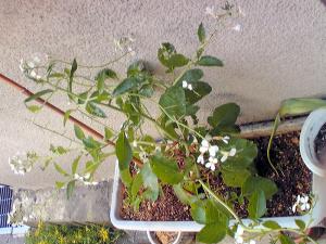 ラディッシュの花2